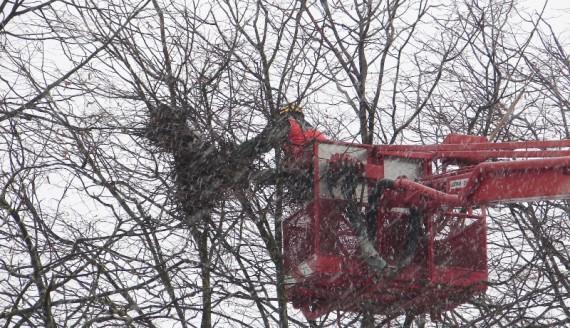 Likwidacja gniazd ptaków w Wysokiem Mazowieckiem, fot. Adam Dąbrowski
