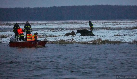 Akcja ratowania ośmiu krów, które zaginęły na rozlewiskach Biebrzy, fot. Paweł Wądołowski