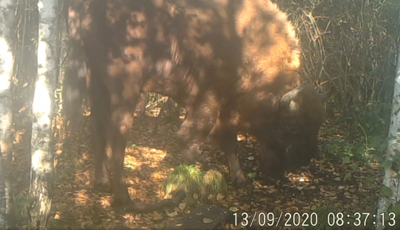 Źródło: screen z nagrania zarejestrowanego przez fotopułapkę