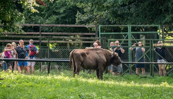 Tłumy turystów w Rezerwacie Pokazowym Żubrów w Białowieskim PN, fot. Adam Janczewski