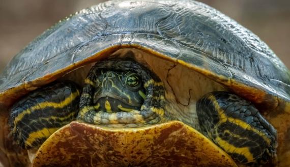 żółw żółtobrzuchy, źródło: stock.adobe.com