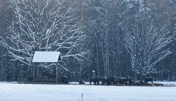 Żubry online w nadleśnictwie Browsk, fot. Adam Janczewski